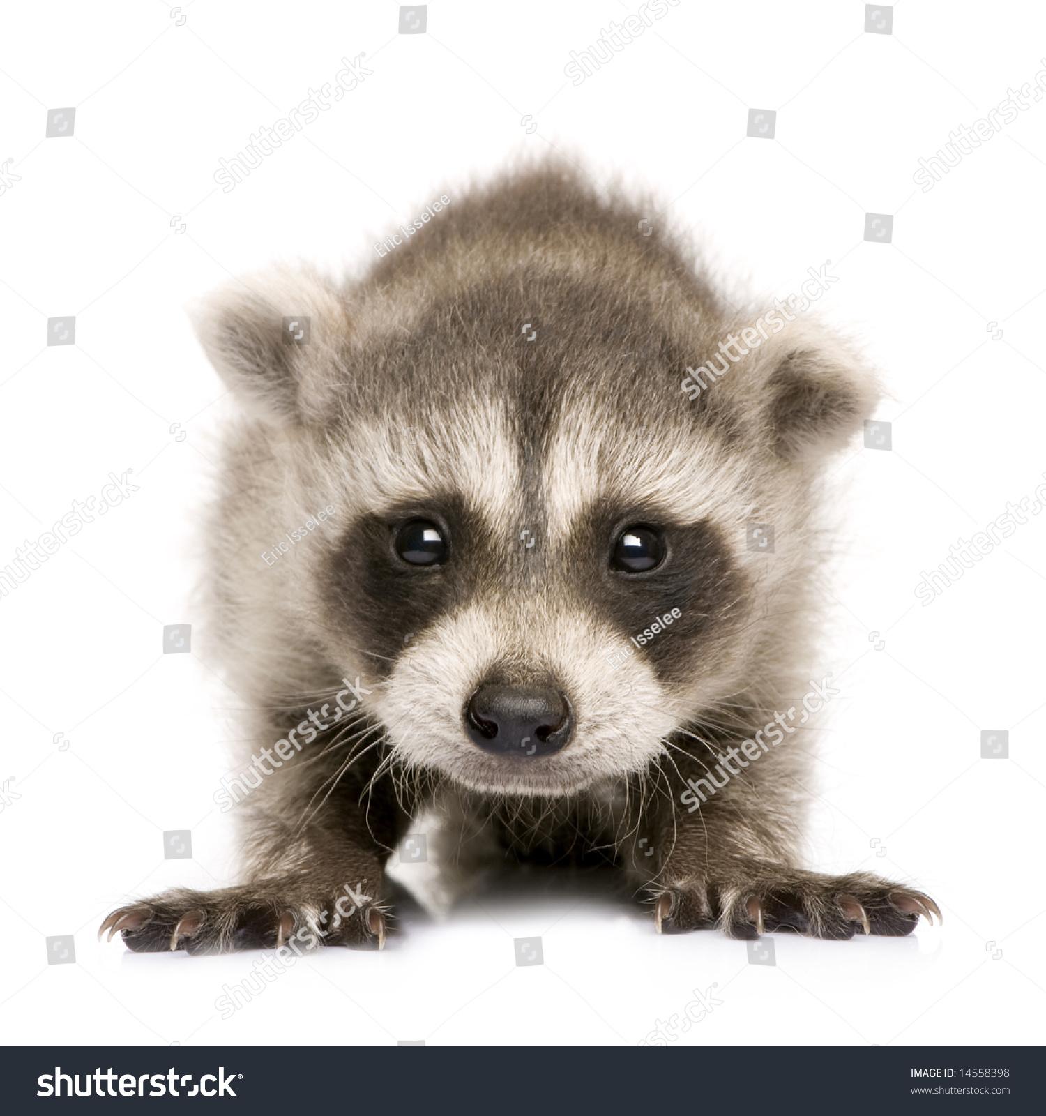 [Image: stock-photo-baby-raccoon-weeks-procyon-l...558398.jpg]