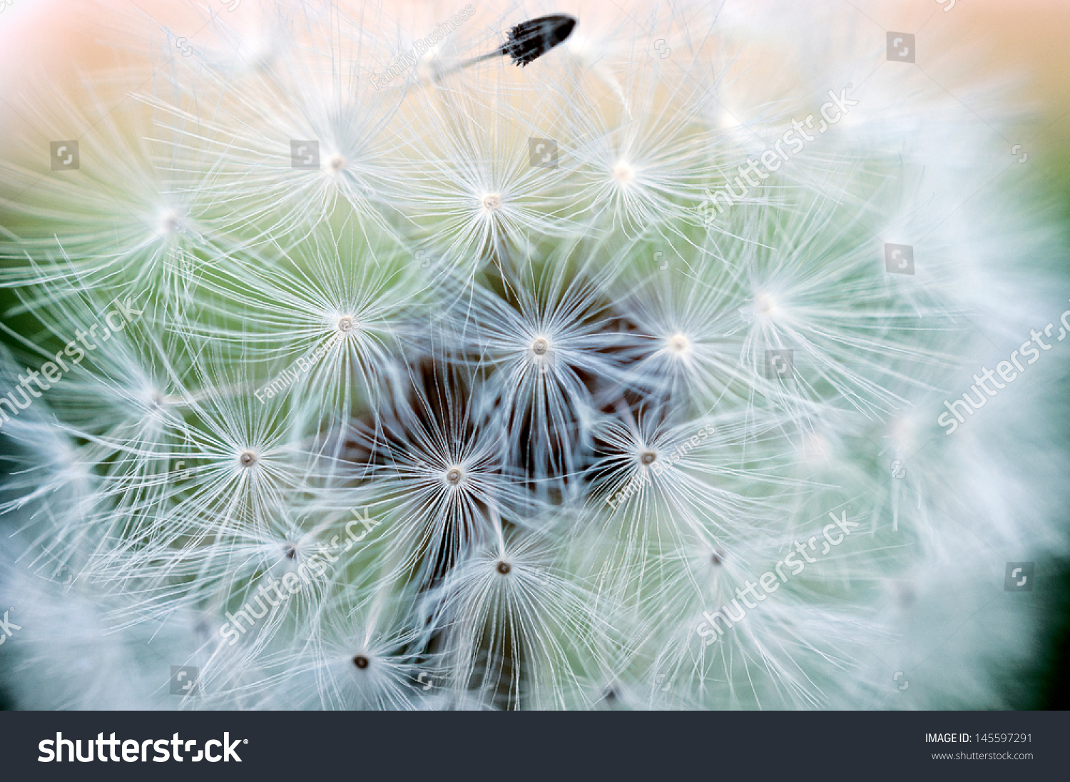 Macro Shoot Dandelion Flower Selective Focus Stock Photo Edit Now Use In Photography For Dummies Of The Middle