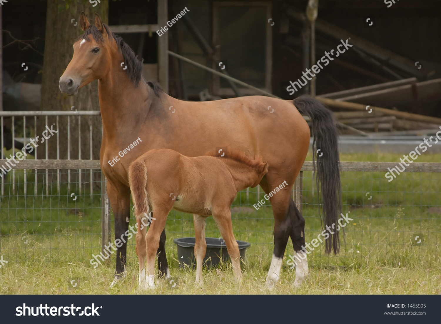 Mother Her Baby Horse Drinking Milk Stock Photo Edit Now 1455995