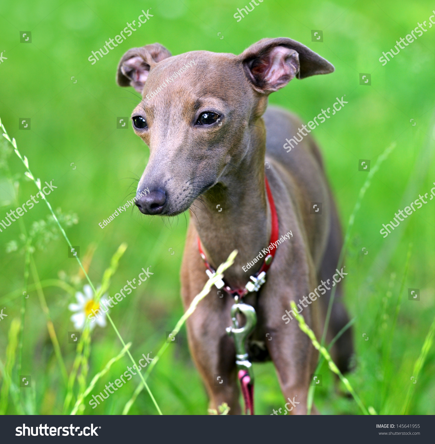greyhound deutsch