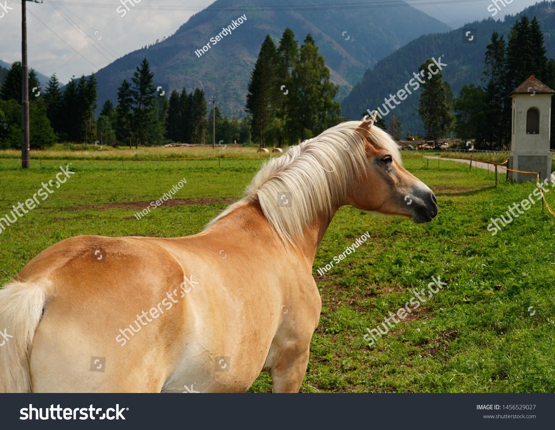 Palomino Horse Avelignese Haflinger Breed Horse Stock Photo Edit Now 1456529027