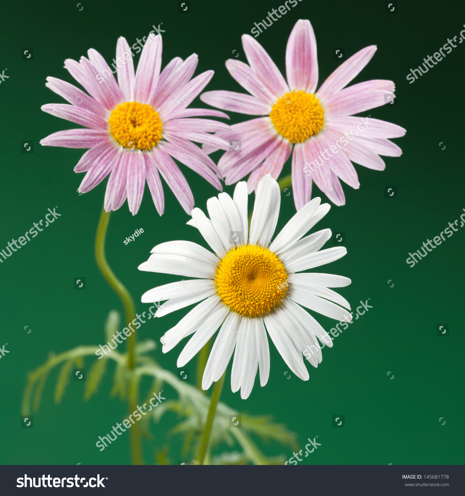 Daisylike Flower Species Flowering Plant Aster Stock Photo Edit Now