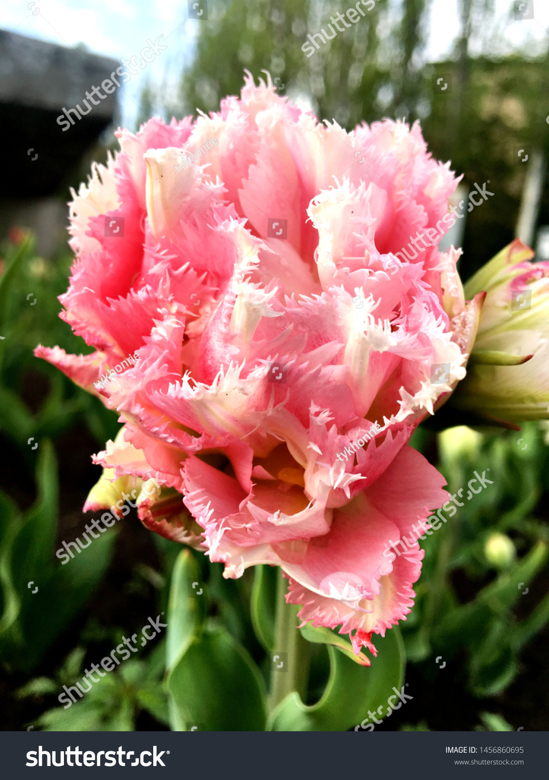 stock-photo-tulip-white-pink-background-