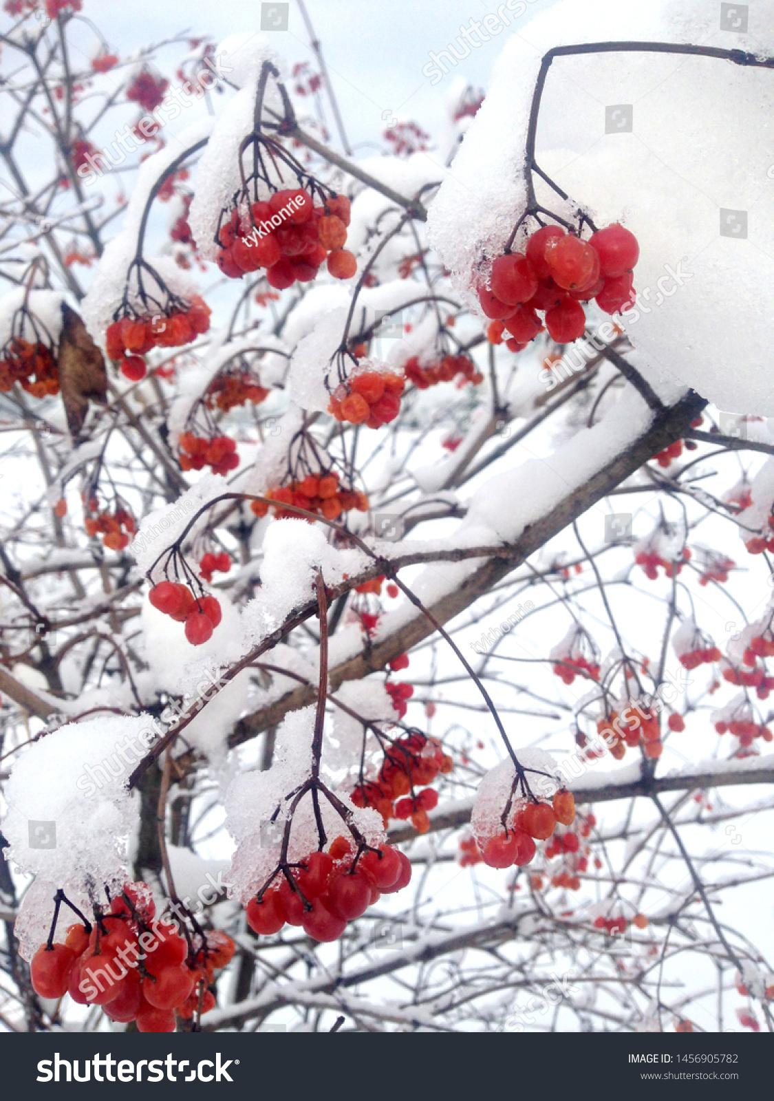 stock-photo-red-viburnum-tree-branches-g