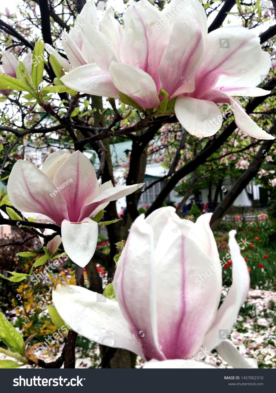 stock-photo-white-pink-magnolia-blown-be