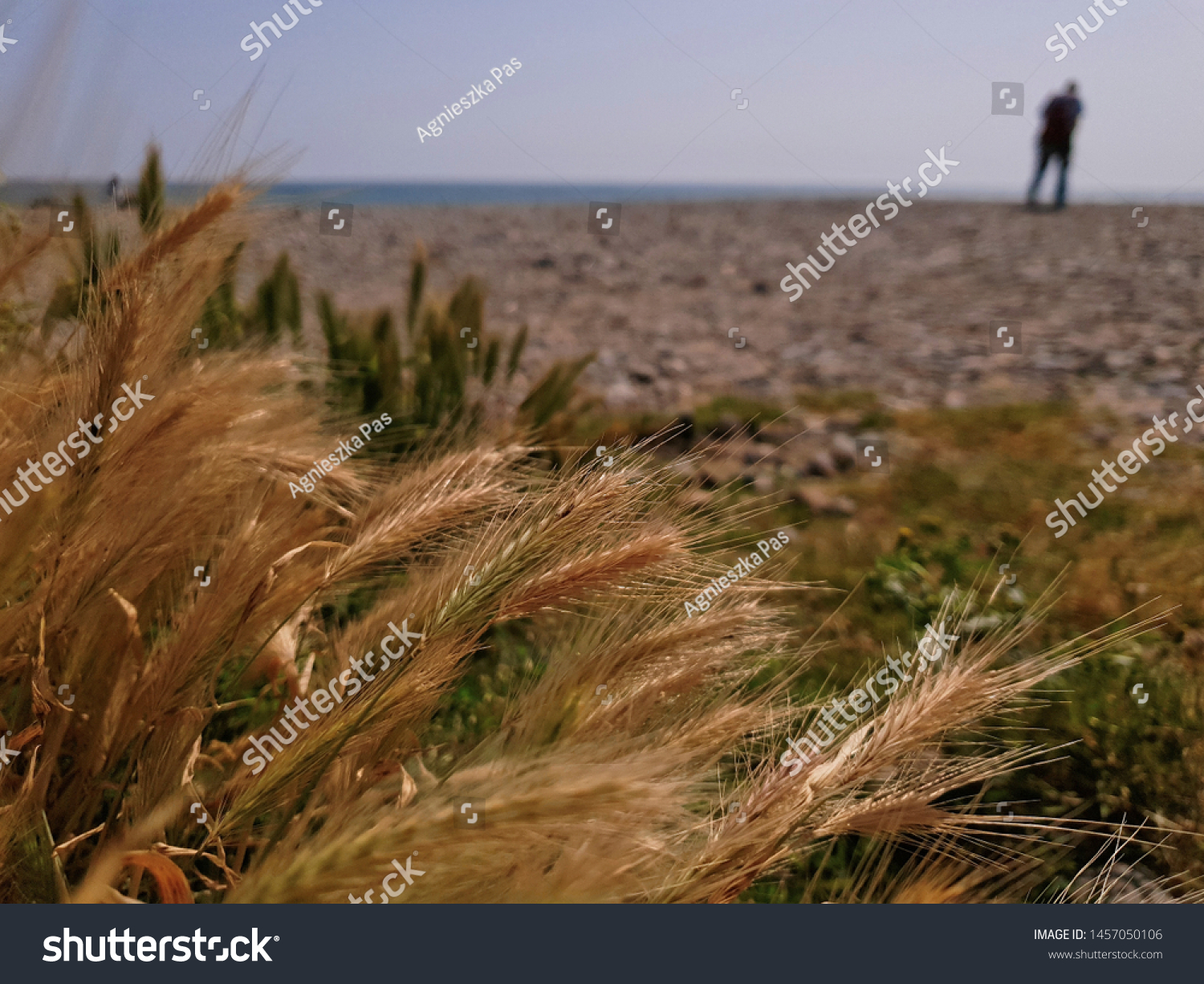Heads of wheat on the beach with a blurred man walking in the background.