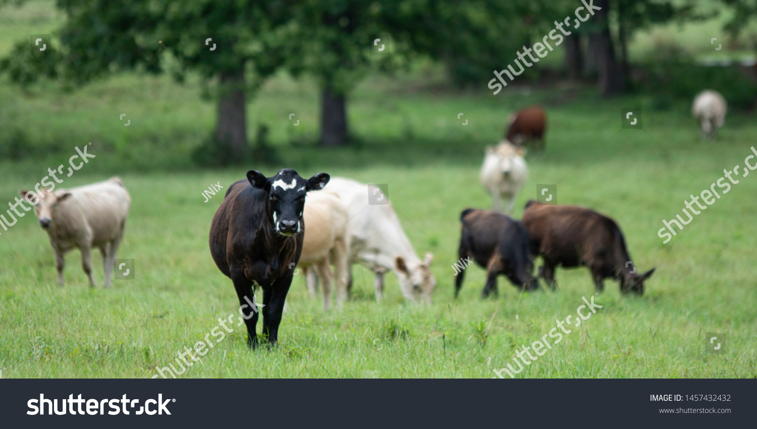 Banner Young Black White Heifer Looking Royalty Free Stock Image