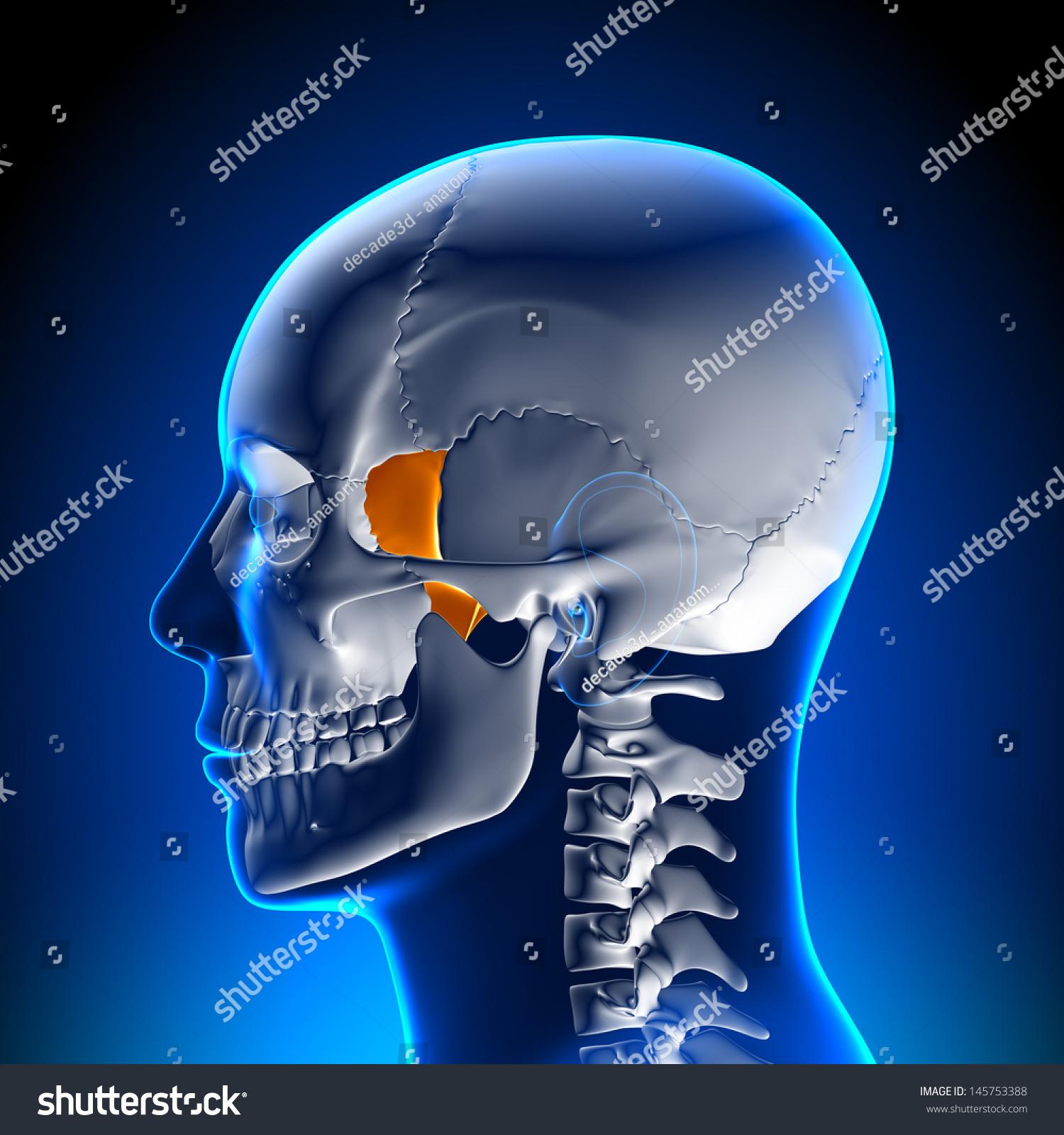 Lacrimal Bone Skull Anatomy Stock Illustration 145753388 - Shutterstock