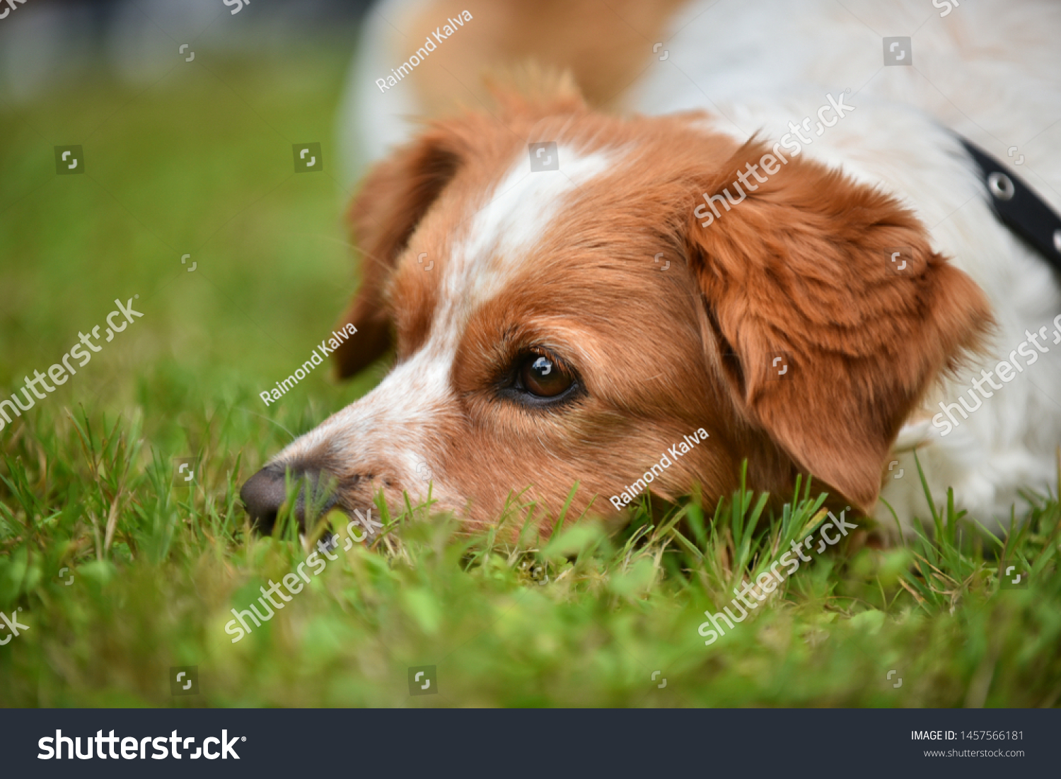 stock-photo-the-dog-is-lying-on-the-gras