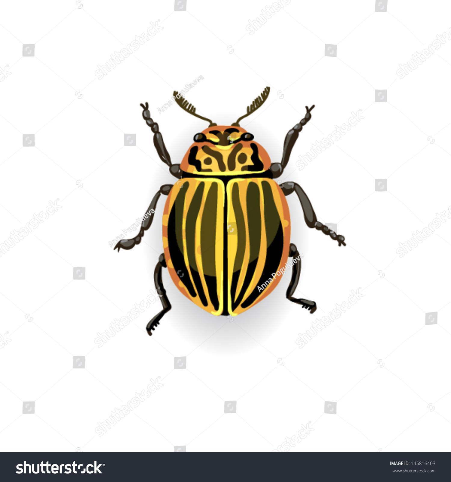 striped potato beetle