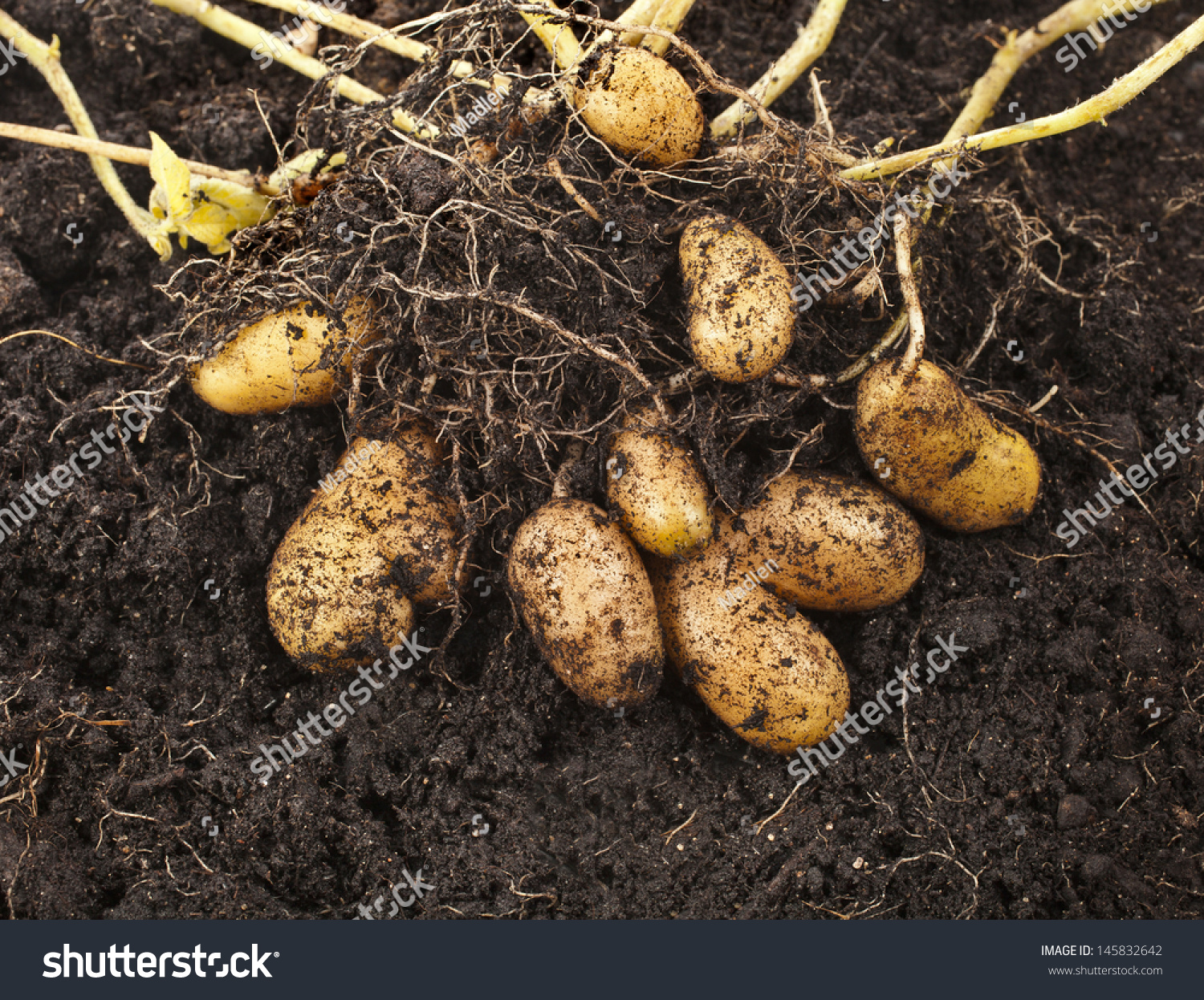 how to prepare soil for potatoes