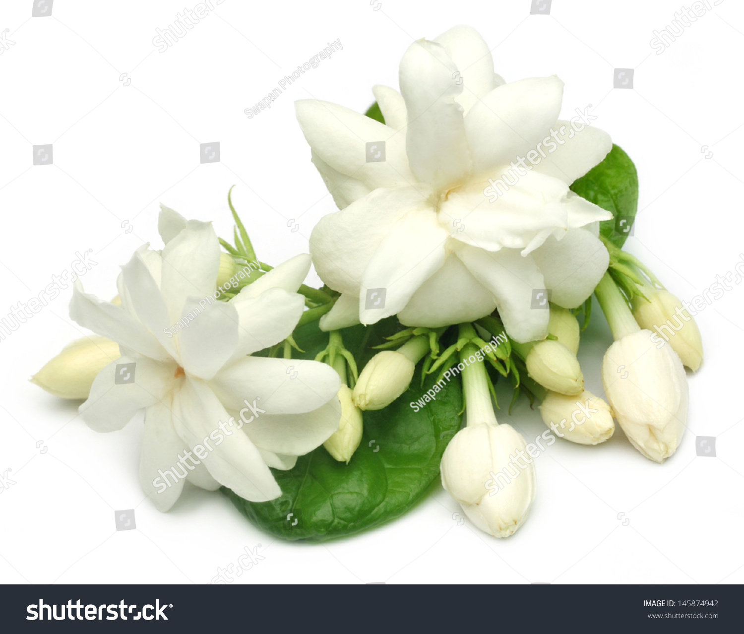 Jasmine Flower Leaves Stock Photo Edit Now 145874942 Shutterstock