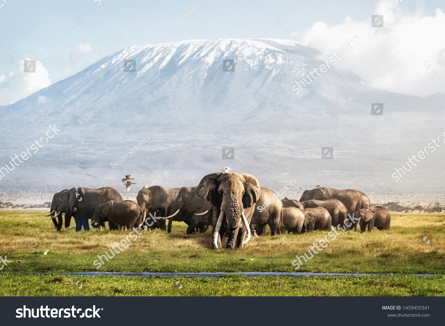 Famous big tusker bull elephant Tim with family herd in front of Mt. Kilimanjaro in Amboseli, Kenya Africa #1459455341