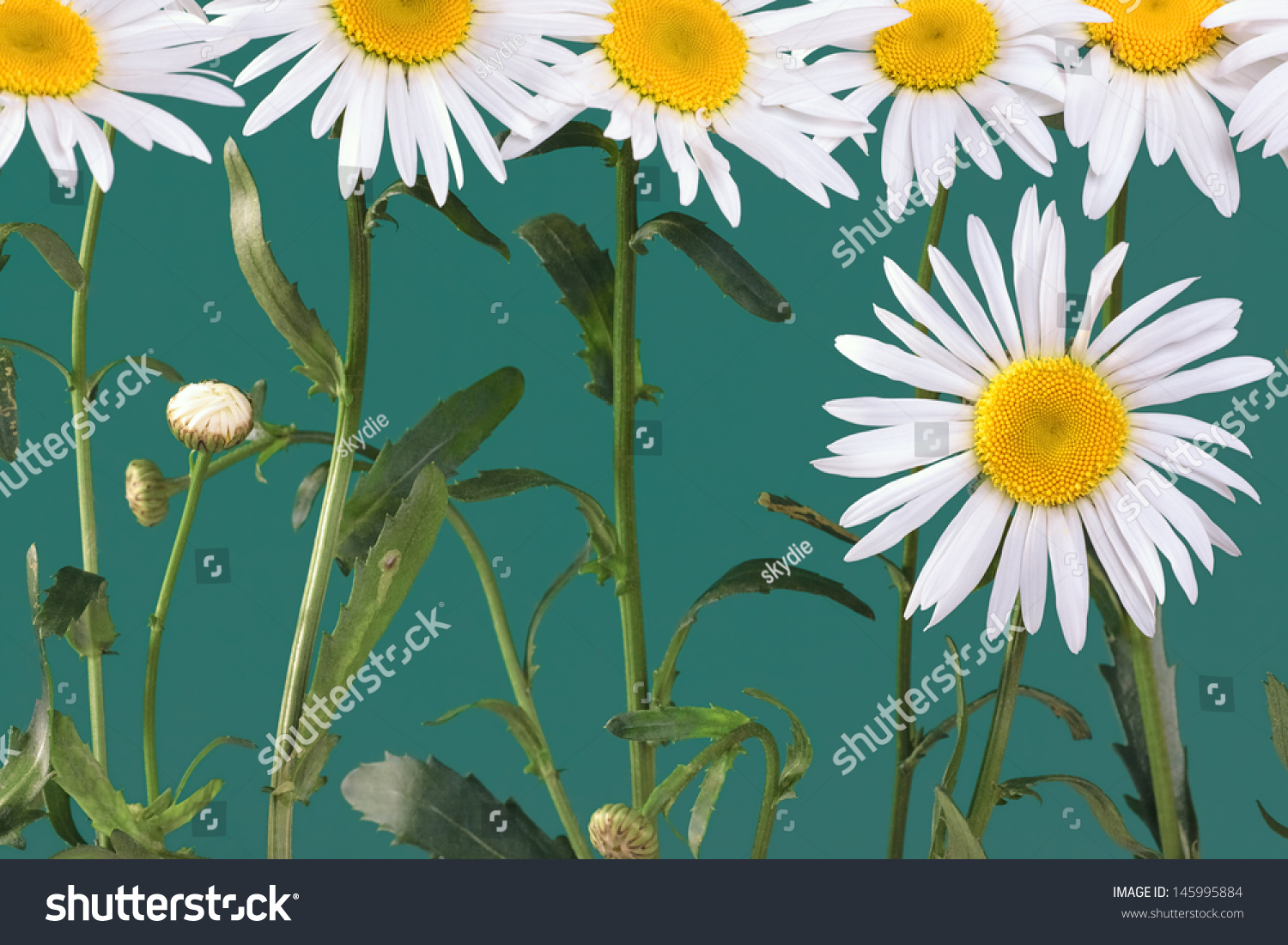 Daisylike flower species flowering plant aster stock photo 145995884 the daisy like flower is a species of flowering plant in the aster family known izmirmasajfo