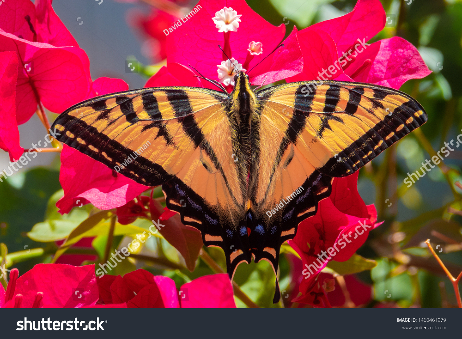 A Western Tiger Swallowtail butterfly (Papilio rutulus) feeds on the nectar of Bougainvillea flowers in Monterey, in central California.