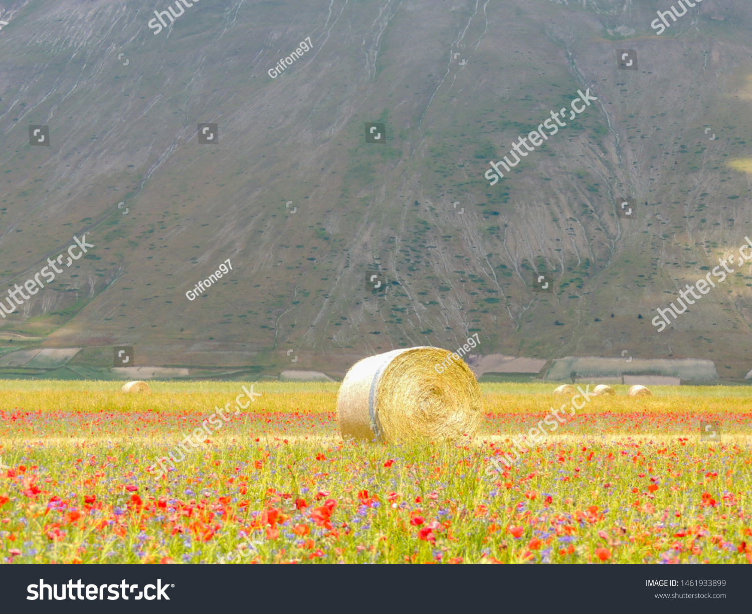 Typical summer view of the floweing fields of Castelluccio di Norcia with a bale in the center.