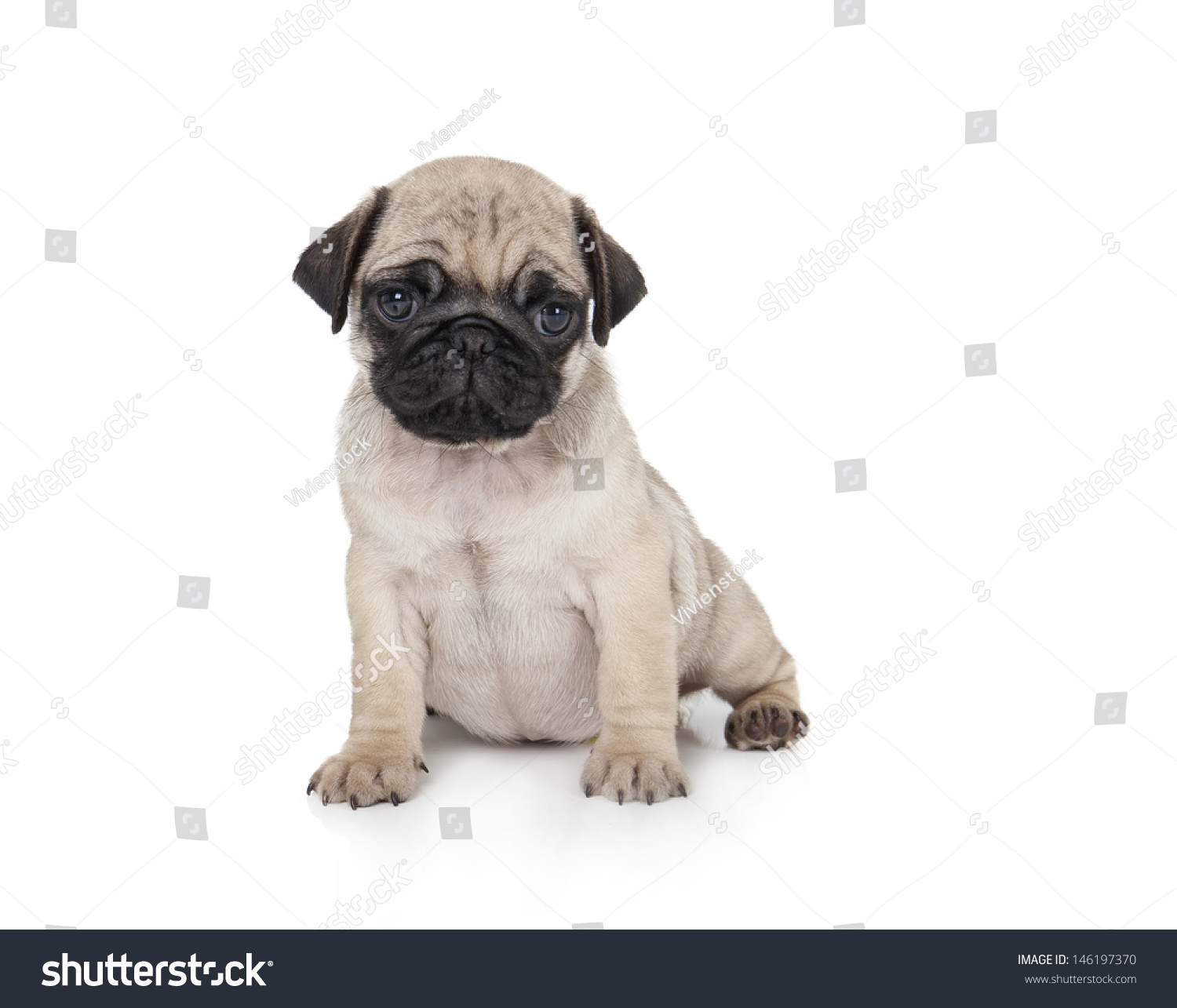 Cute Pug Puppy White Background Stock