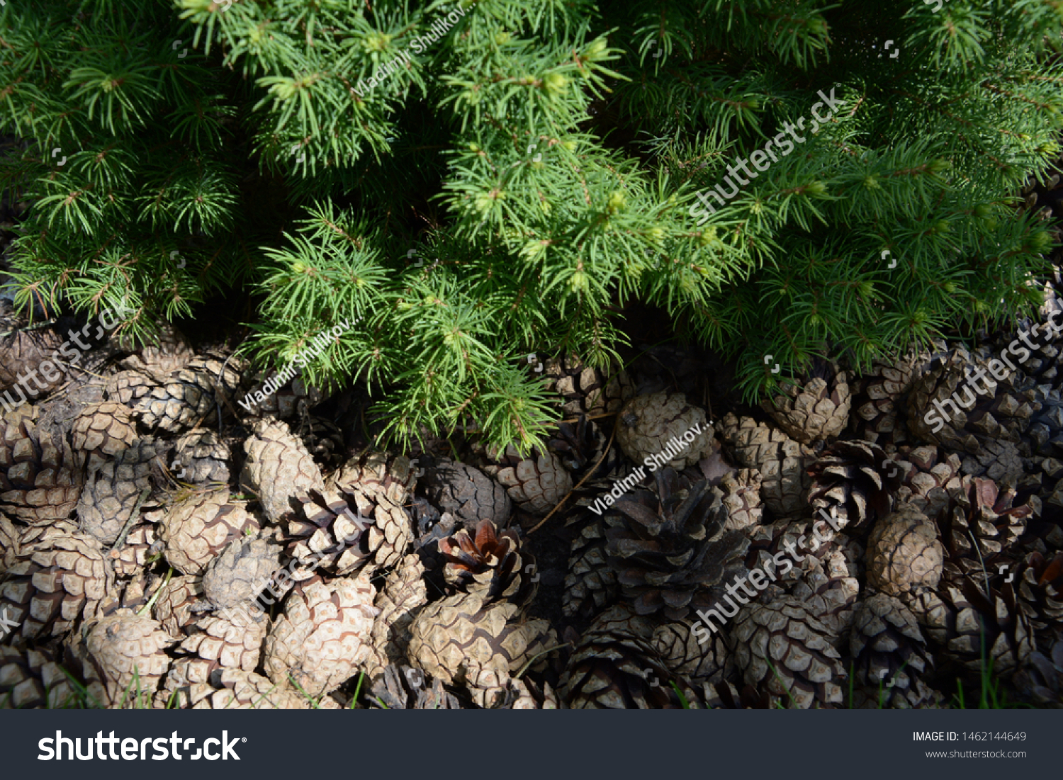 Nature Forest Background Green Moss Cones Nature Stock Image