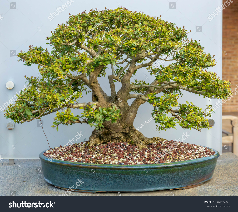 Bonsai Tree Yaupon Holly Stock Photo Edit Now 1462734821