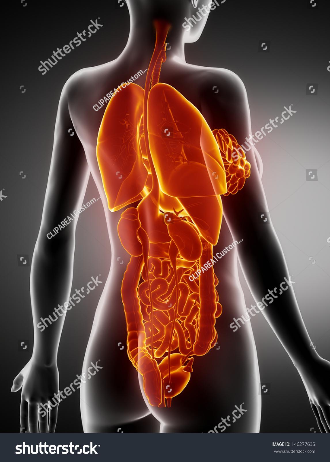 Female Organs Anatomy Xray Posterior View Stock Illustration