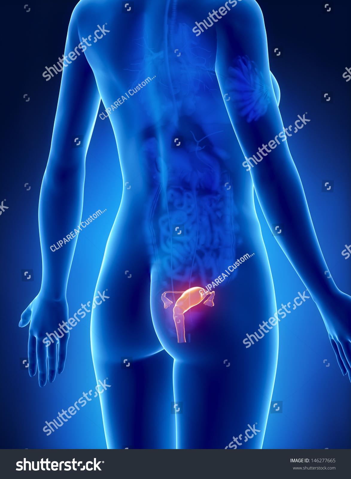 Female UTERUS Anatomy Xray Posterior View Stock Illustration ...