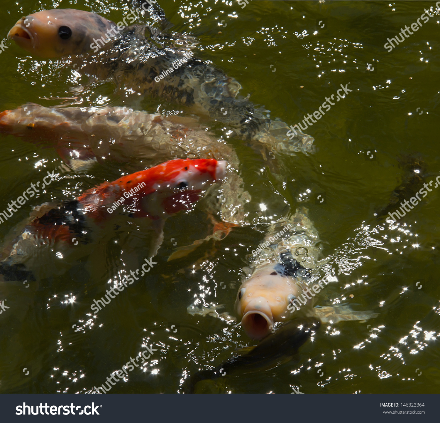 Colorful japanese fish koi carp koi stock photo 146323364 for Koi pool water