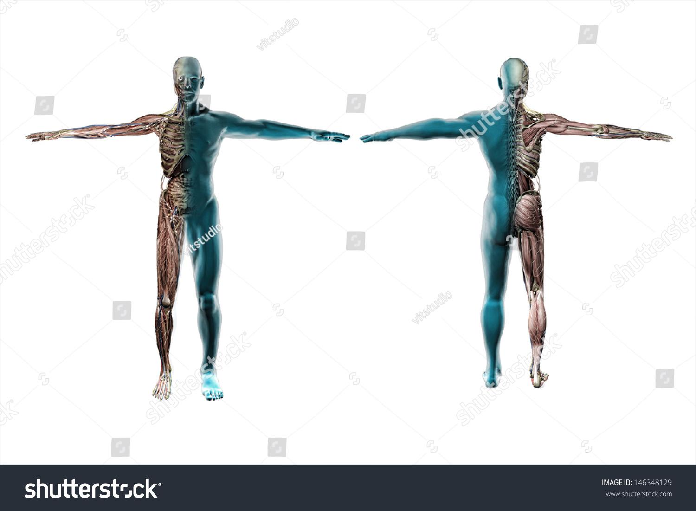 Anatomy Human Body Stock Illustration 146348129 - Shutterstock