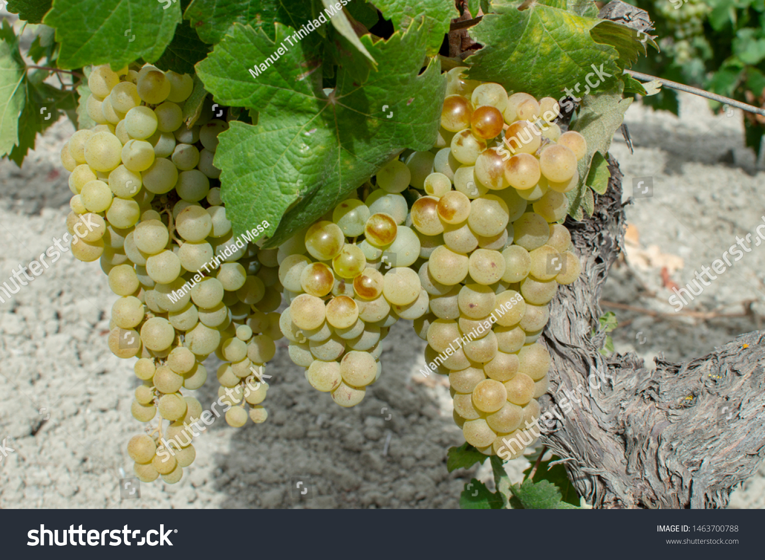 White grape harvest to make wine in the area of Jerez de la Frontera and Sanlucar de Barrameda, Spain