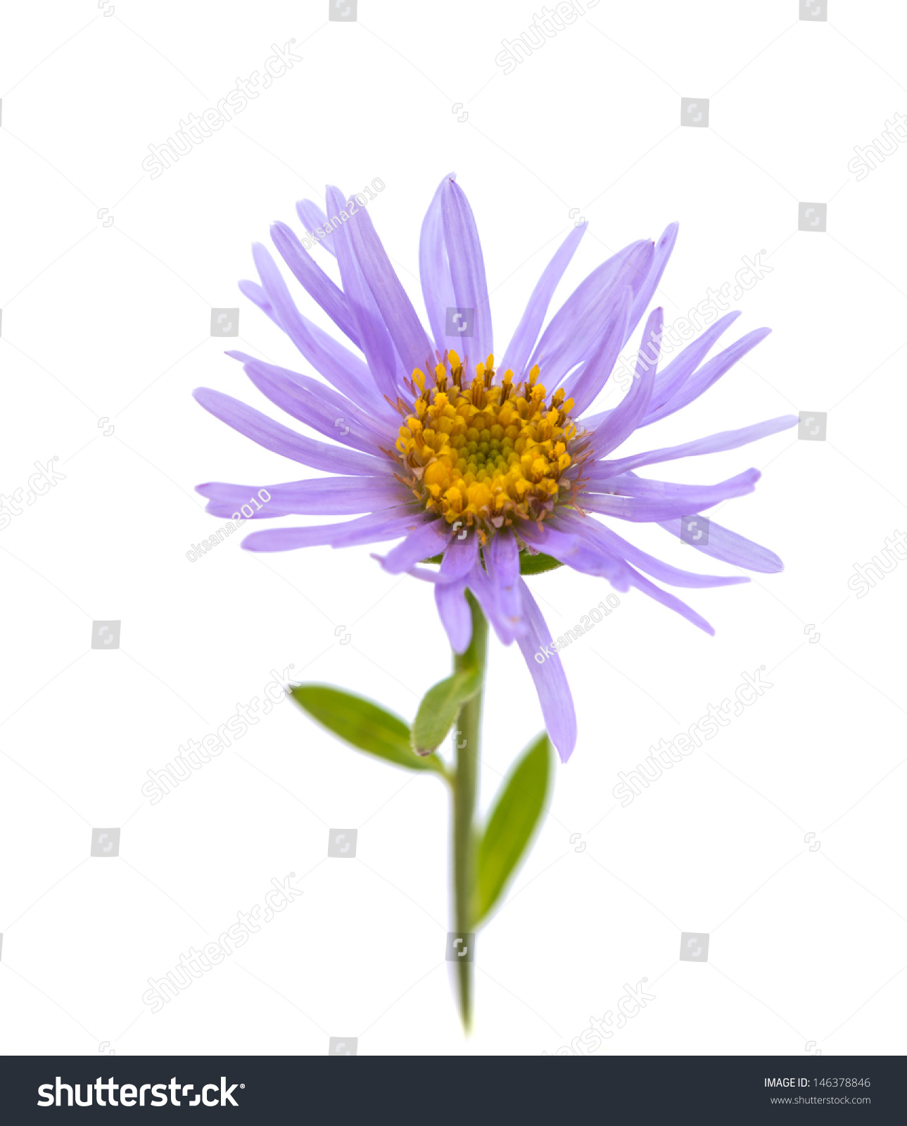 Violet Color Flower Isolated On White Background Ez Canvas