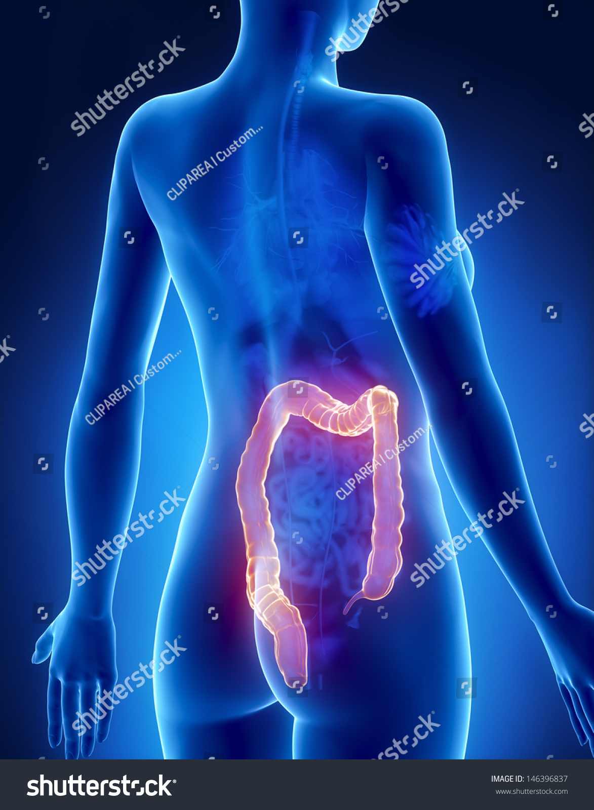 Female COLON Anatomy Xray Posterior View Stock Illustration ...