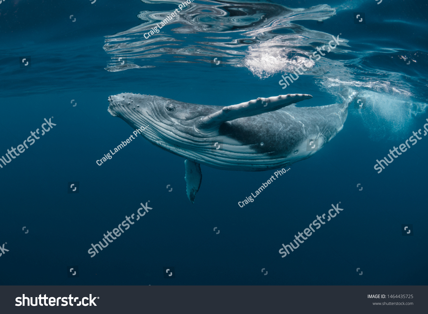 A Baby Humpback Whale Plays Near the Surface in Blue Water #1464435725