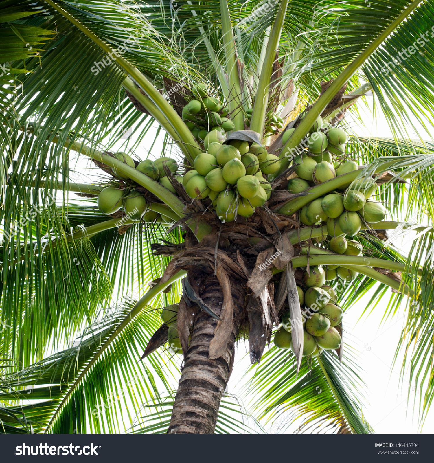heritage coconut tree coconut This article explores the possible origins and history of the coconut tree follow us: history of the coconut tree the coconut is a versatile fruit.