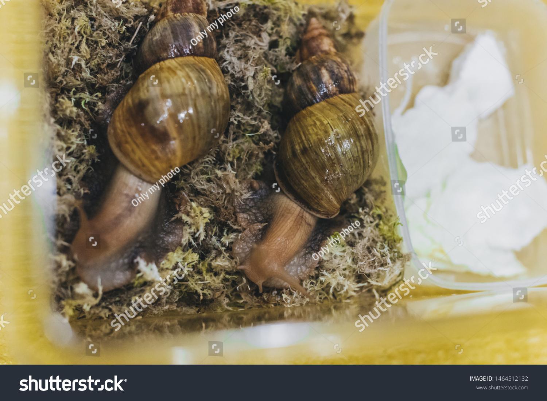 Snails Achatina Fulica Terrarium Stock Photo Edit Now 1464512132