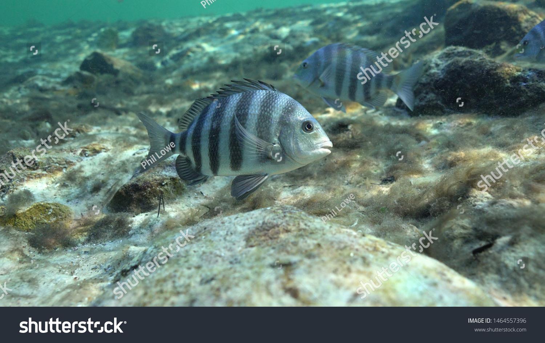 stock-photo-sheepshead-fish-archosargus-