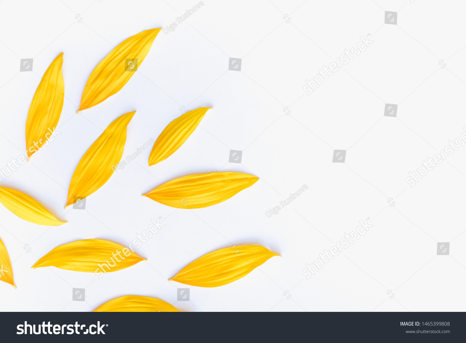 sunflower petals background, yellow petals on a white background, sunflower petals, sunflower petals on a white background #1465399808