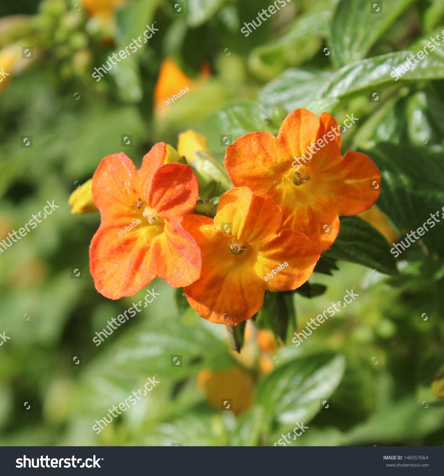 Beautiful Bright Flowers Streptosolen Jamesonii Marmalade Stock