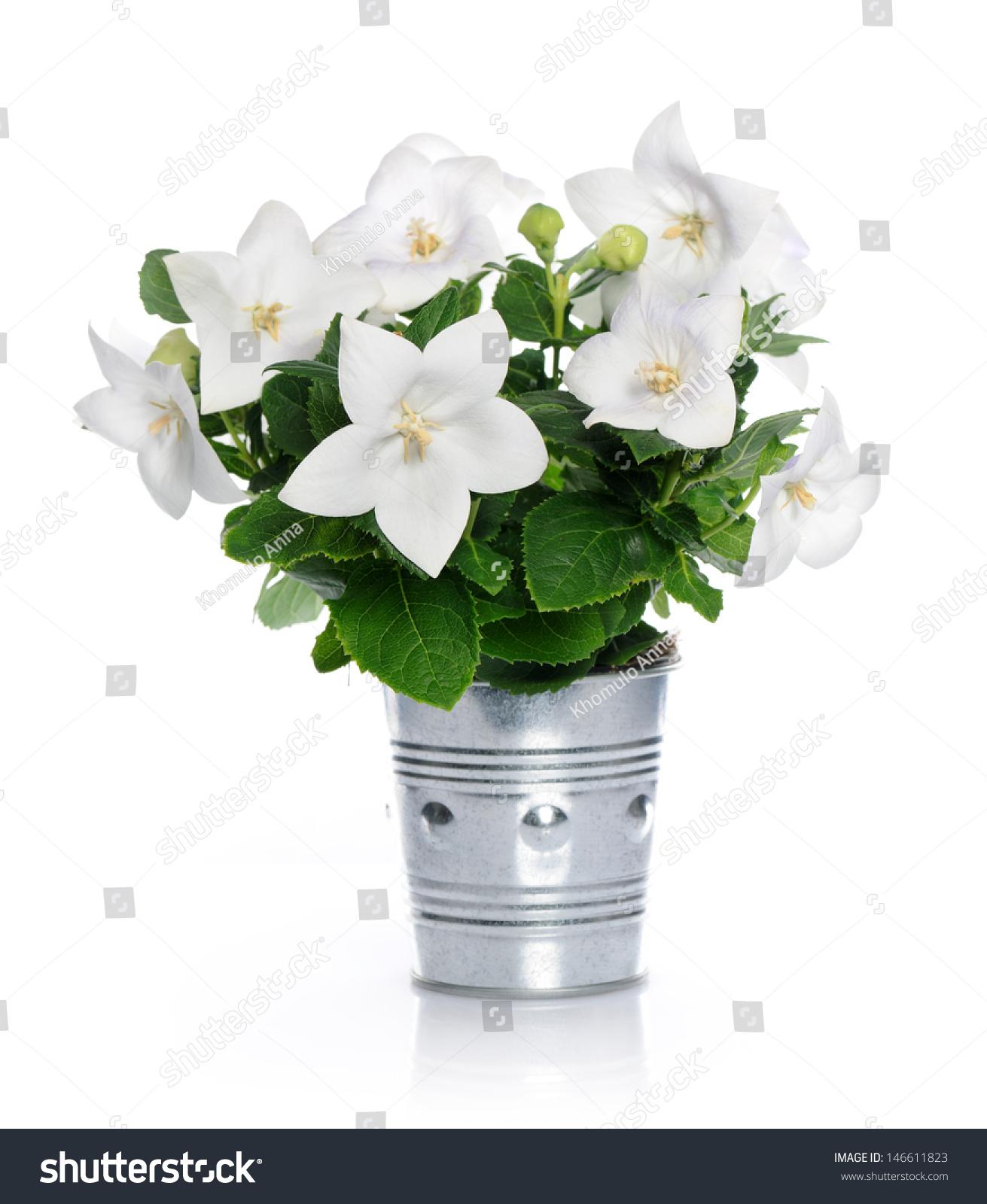 White Bell Flowers Stock Photo 146611823 Shutterstock