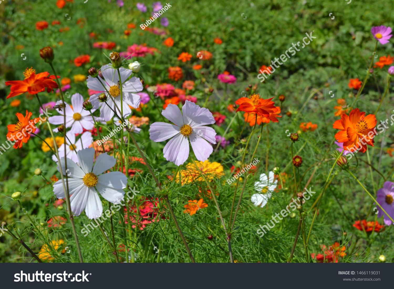 Homemade Plant Cosmos Genus Annual Perennial Stock Photo Edit Now