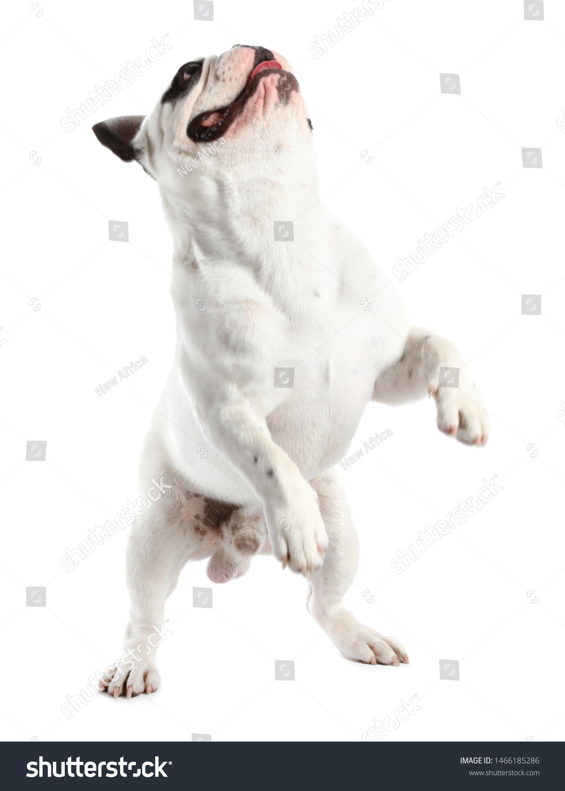 French bulldog on white background. Adorable pet #1466185286