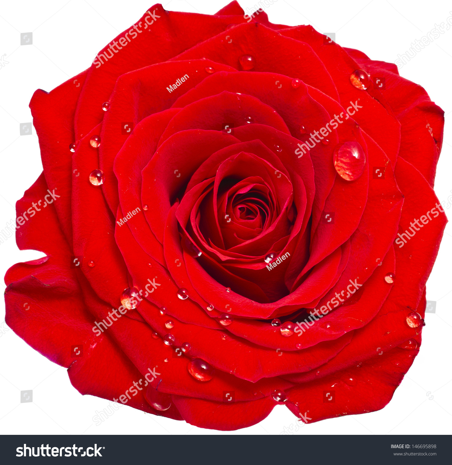 one single red rose bud close stock photo 146695898