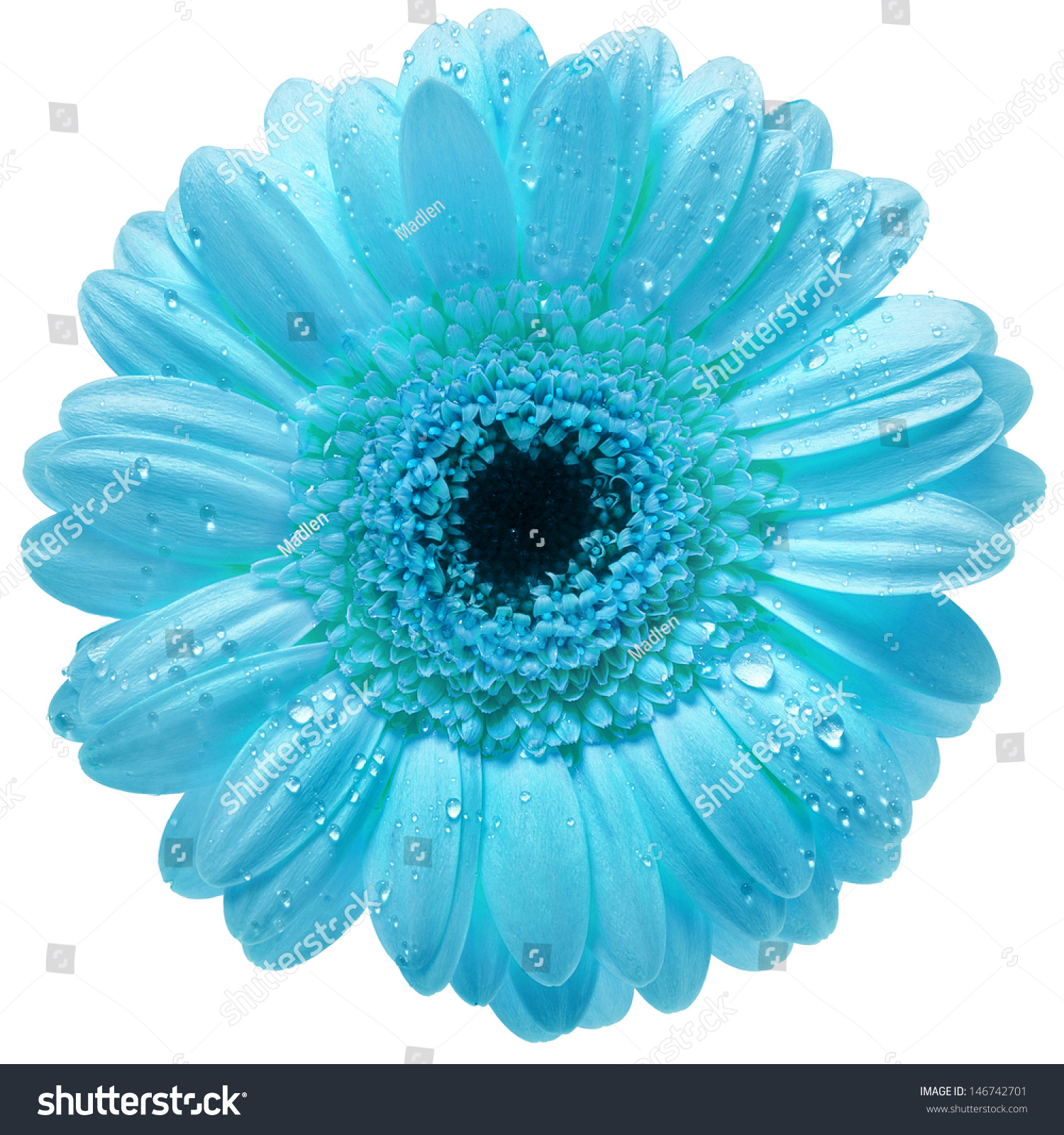Single Gerbera Flower Water Drops Isolated Stock Photo Royalty Free