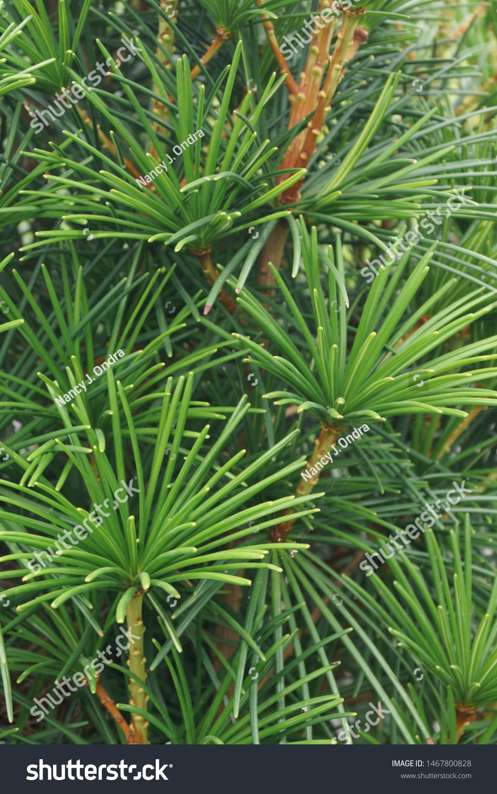 Vertical Closeup Foliage Japanese Umbrella Pine Stock Photo Edit