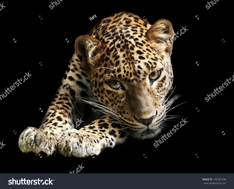 Jaguar Predator Black Animal Muzzle Art Wallpaper: Leopard Isolated On Black Background Jaguar Stock Photo