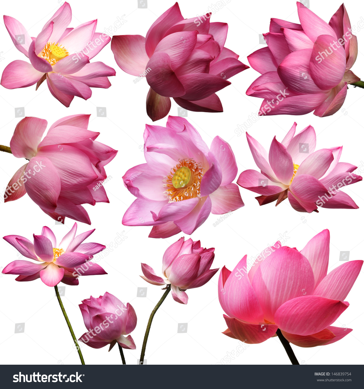 Template beautiful lotus flower isolated on stock photo 146839754 template of beautiful lotus flower isolated on white background pronofoot35fo Choice Image