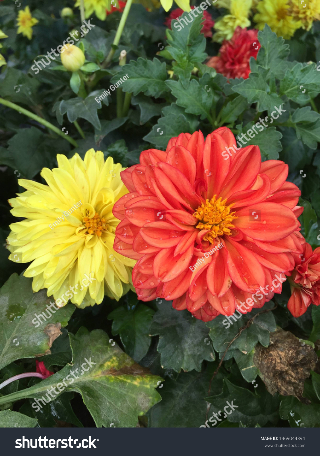 Bright Yellow Coral Colored Flowers Stock Photo Edit Now 1469044394