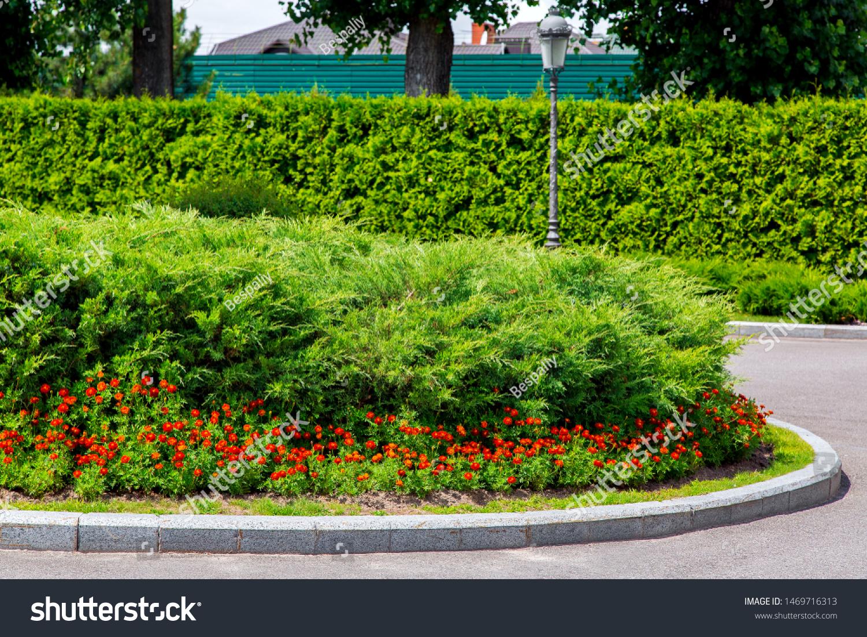 Flowerbed Bushes Evergreen Thuja Orange Flowers Stock Photo Edit