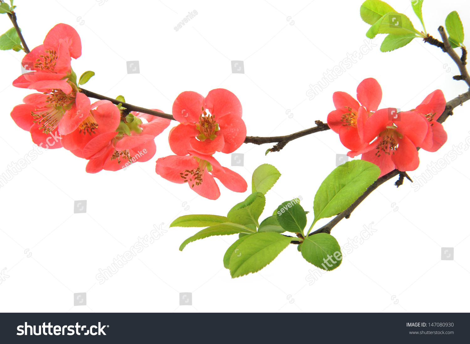 Flowering quince stock photo 147080930 shutterstock flowering quince biocorpaavc Image collections
