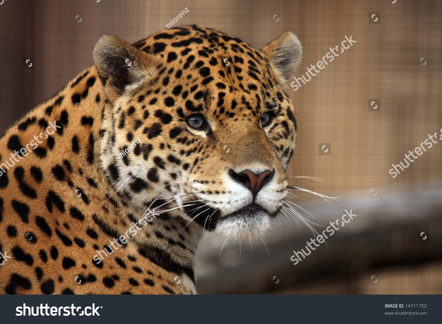 closeup of a spotted jaguar stock photo 14711752. Black Bedroom Furniture Sets. Home Design Ideas