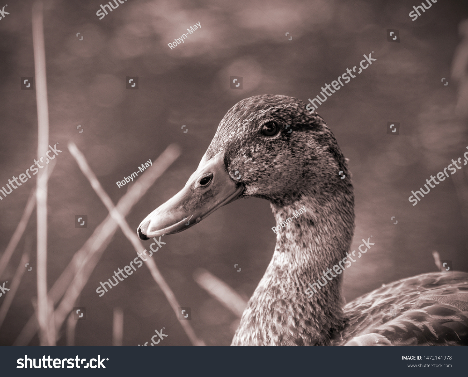 stock-photo-female-wild-duck-anas-platyr