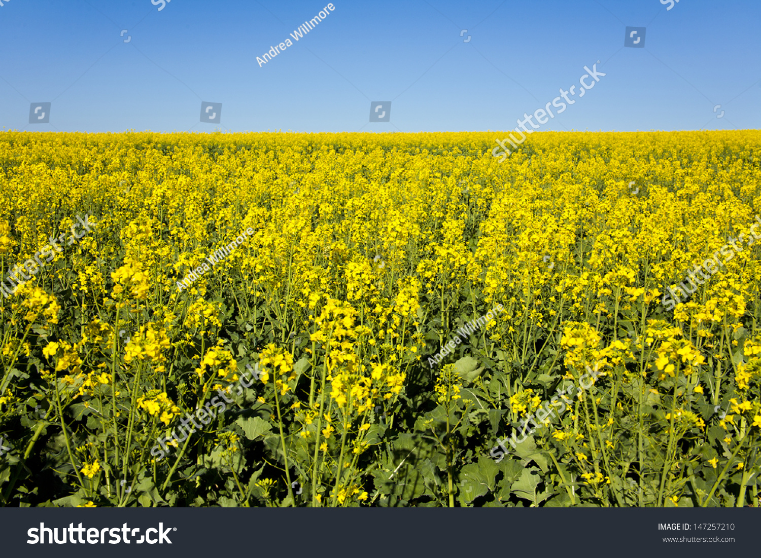 canola flower garden - photo #22
